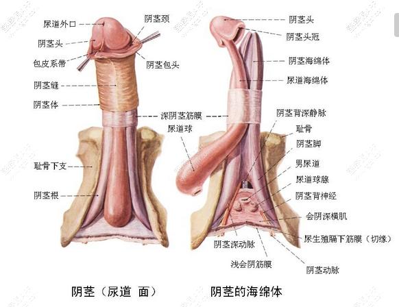 手术一般分两期进行,第一期最好在两岁左右进行,主要是切断索带,使阴茎伸直;第二期在第一期术后半年至一年,待局部疤痕组织软化后再进行,主要是做尿道成形术。待到长大成人以后,阴茎弯曲就难以矫正了。当然,在医学界也有人主张将两期手术并作一次完成,即在切除阴茎索带使弯曲的阴茎伸直的同时,利用皮管将膀胱粘膜做成管道,代替缺损的尿道。